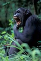 Female Chimpanzee Yawning, Gombe National Park, Tanzania Fine-Art Print