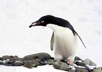 An Adelie Penguin (Pygoscelis Adeliae) at Paulet Island, Antarctica Fine-Art Print