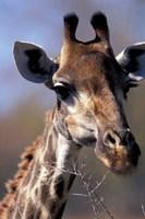 Close-up of Giraffe Feeding, South Africa Fine-Art Print
