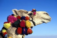 Colorfully Decorated Tourist Camel, Egypt Fine-Art Print