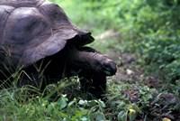 Giant Tortoise, Seychelles Fine-Art Print