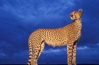 Cheetah at Dusk, Masai Mara Game Reserve, Kenya Fine-Art Print