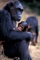 Female Chimpanzee Cradles Newborn Chimp, Gombe National Park, Tanzania Fine-Art Print