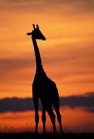 Giraffe Silhouetted, Masai Mara Game Reserve, Kenya Fine-Art Print