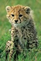Cheetah, Tanzania, Serengeti NP, Cheetah cub Fine-Art Print