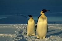 Emperor Penguins, Mt. Melbourne, Antarctica Fine-Art Print