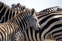 Black and White Stripe Pattern of a Plains Zebra Colt, Kenya Fine-Art Print
