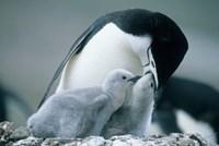 Chinstrap Penguins, Deception Island, Antarctica Fine-Art Print