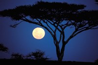 Acacia Tree in Moonlight, Tarangire, Tanzania Fine-Art Print