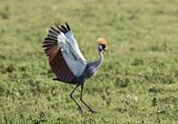 Africa, Tanzania, Ngorongoro Crater. Grey Crowned Crane dancing. Fine-Art Print