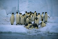 Emperor Penguins, Cape Roget, Ross Sea, Antarctica Fine-Art Print