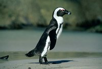 African Penguin, Cape Peninsula, South Africa Fine-Art Print