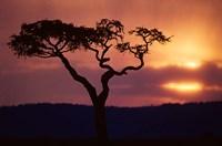 Acacia Tree as Storm Clears, Masai Mara Game Reserve, Kenya Fine-Art Print