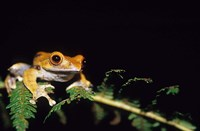 Frog in the Analamazaotra National Park, Madagascar Fine-Art Print