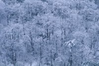 Forest Covered with Snow, Mt Huangshan (Yellow Mountain), China Fine-Art Print