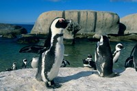 African Penguins, South Africa Fine-Art Print