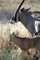 Beisa Oryx and Calf, Kenya Fine-Art Print