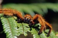 Close-up of Tarantula on Fern, Madagascar Fine-Art Print