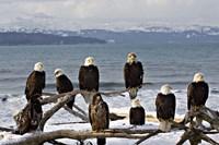 Bald Eagles in Winter, Homer, Alaska Fine-Art Print