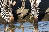 Burchell's Zebras Drinking, Tanzania Fine-Art Print