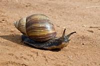 Giant African Land Snail, Tanzania Fine-Art Print