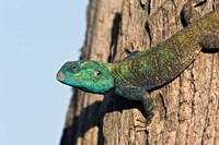 Green-Headed Agama Lizard, Tanzania Fine-Art Print