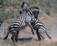 Fighting Burchell's Zebra, Serengeti, Tanzania Fine-Art Print