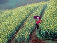 Chinese Woman Walking in Field of Rapeseed near Ping' an Village, Li River, China Fine-Art Print
