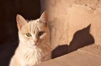 Cat inside kasbah de Taourirt; same clay color! Fine-Art Print