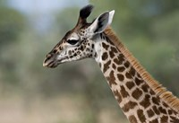Close-up of Masai Giraffe, Tanzania Fine-Art Print