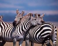 Group of Zebras, Masai Mara, Kenya Fine-Art Print