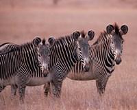 Grevy's Zebra, Masai Mara, Kenya Fine-Art Print