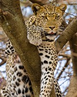Africa. Tanzania. Leopard in tree at Serengeti NP Fine-Art Print
