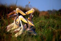 Botswana, Okavango Delta. Pink-backed Pelican birds Fine-Art Print