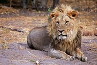 Botswana, Savute, Chobe National Park, Lion Fine-Art Print