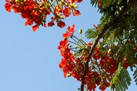 Close-up of African flame tree, Stone Town, Zanzibar, Tanzania Fine-Art Print