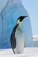 Emperor Penguin on ice, Snow Hill Island, Antarctica Fine-Art Print