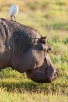 Hippopotamus grazing, Amboseli National Park, Kenya Fine-Art Print