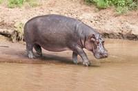 Hippopotamus pod relaxing, Mara River, Maasai Mara, Kenya, Africa Fine-Art Print