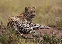 Africa, Tanzania, Serengeti. Leopard, Panthera pardus. Fine-Art Print