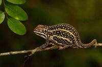 Campan's chameleon lizard, Madagascar Fine-Art Print