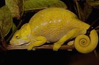 Globular Chameleon, Lizards, Madagascar Fine-Art Print
