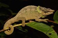 Green-eared Chameleon lizard, Madagascar, Africa Fine-Art Print