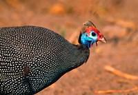 Helmeted Guinea Fowl, Kenya Fine-Art Print