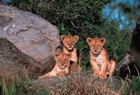Den of Lion Cubs, Serengeti, Tanzania Fine-Art Print