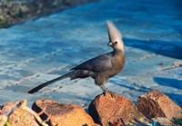 Grey Go-Away Bird, Namibia Fine-Art Print