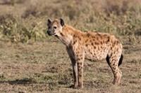 Africa, Tanzania, Serengeti. Spotted hyena, Crocuta crocuta. Fine-Art Print