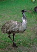 Emu Portrait, Australia Fine-Art Print