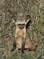 Bat-Eared Fox, Tanzania Fine-Art Print
