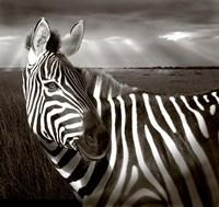 Black & White of Zebra and plain, Kenya Fine-Art Print